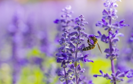 honey bee on Purple Salvia with nature background photo