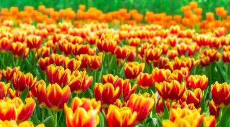 Set of bright tulips background