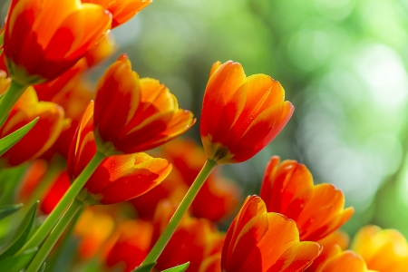 beautiful tulips with blur in green nature background photo