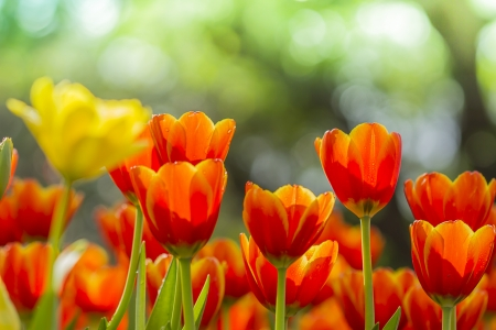 tulips in the garden with nature background photo