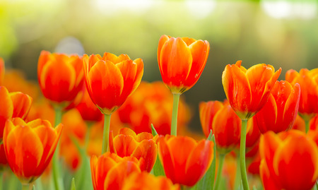 fresh beautiful tulips field photo