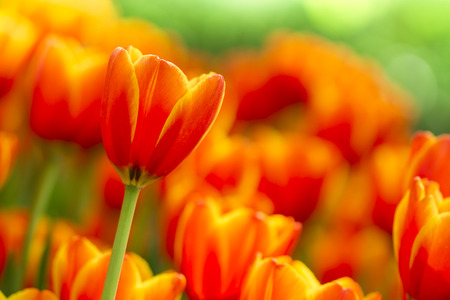 fresh beautiful tulips field in spring time photo