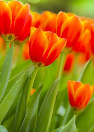 fresh and beautiful tulips on nature background