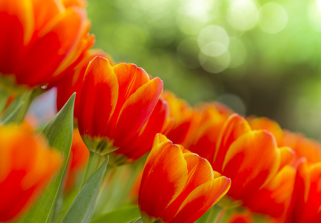 fresh beautiful tulips field in spring time Stock Photo