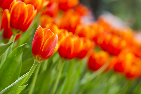 Bouquet of red and yellow tulips on green background  Fresh spring flowers photo