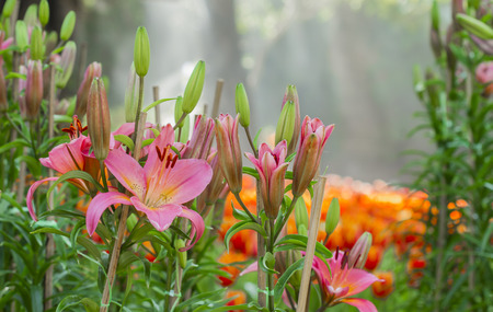 pink lilly flower with sun beam in the morning photo