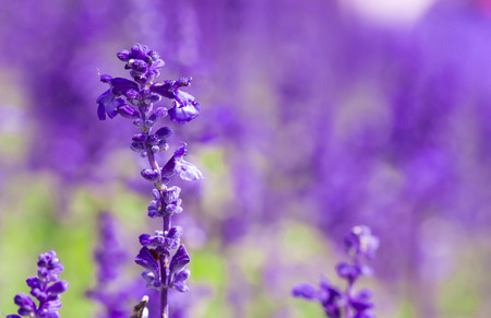 field of fresh violet salvia flowers in the garden Stock Photo