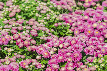 beautiful pink chrysanthemum flower in nature background