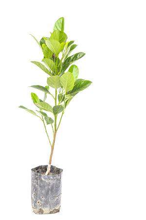 fresh Jackfruit tree isolated on white background Stock Photo