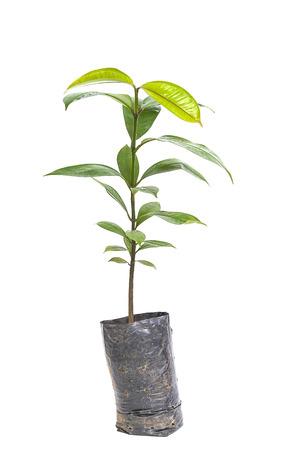 Mangosteen tree isolated on white background photo