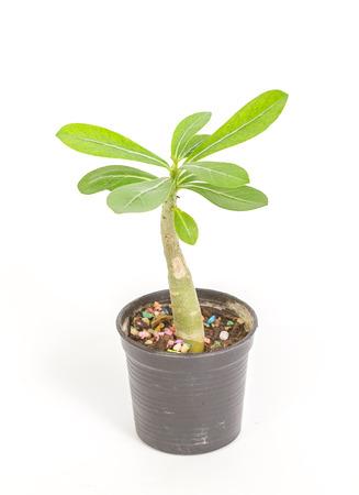 Desert Rose, Impala Lily, Mock Azalea, tropical tree in Thailand isolated on white background photo