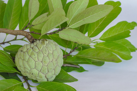 annona squamosa: Custard apples, Sugar apples or Annona squamosa Linn
