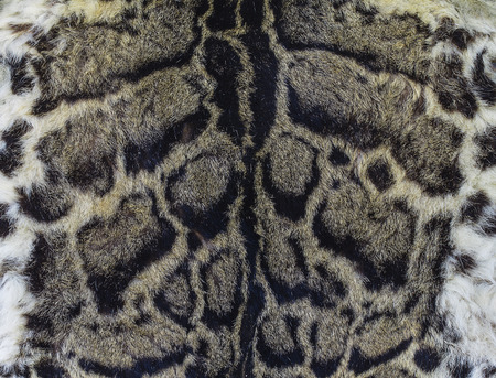 Fur of a clouded leopard background