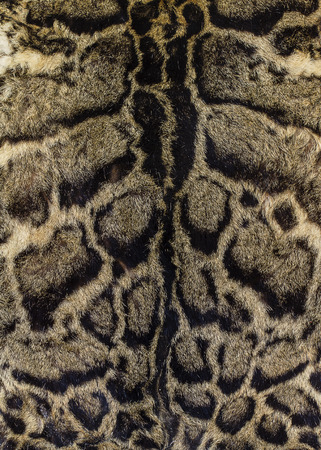 resplendence: fur of a clouded leopard (Felis nebulosa) background Stock Photo