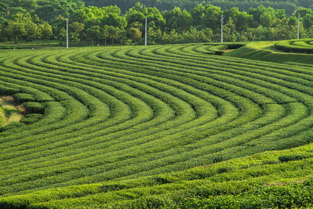 beautiful green tea plantation background Stock Photo