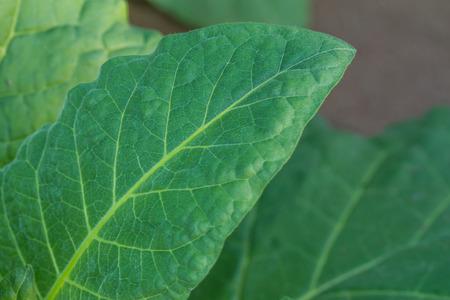 tobacco leaf: young tobacco leaf in nature background