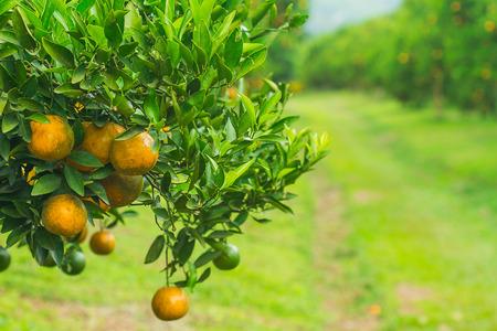 Orange groves and mountain backdrop. Orange orchard , Orange tree photo