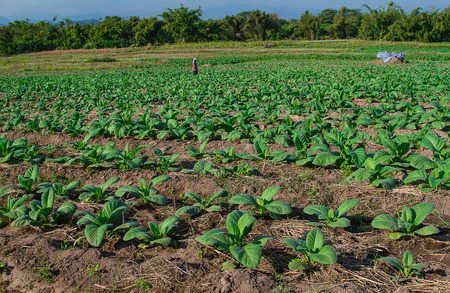 young Tobacco plantation in Thailand Stock Photo