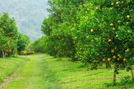 arboleda: Naranjos, naranjos o de árboles de naranja Foto de archivo