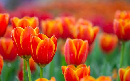 waterdrop: beautiful tulips with waterdrop in garden Stock Photo