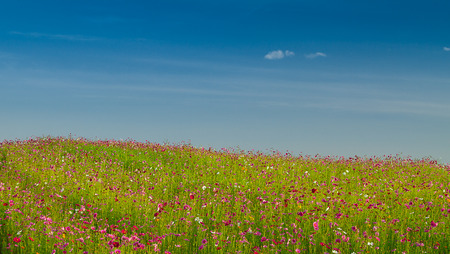cosmos field with blue sky in nature background Stock Photo