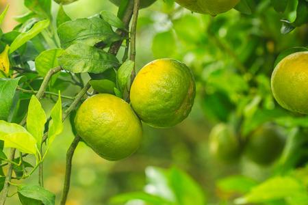 naranja arbol: Naranjos, huerto de �rboles de naranja o naranja