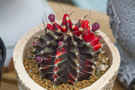 colorful of cactus flower in pot Stock Photo