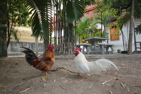 natural cock: chicken in thai temple