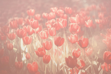 Fresh tulips with water drop on vintage blurred background