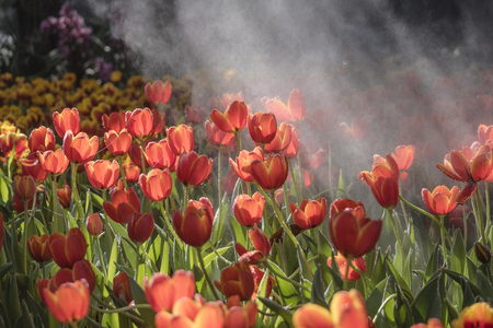 Freshness tulip movement with drop of water in the park Stock Photo