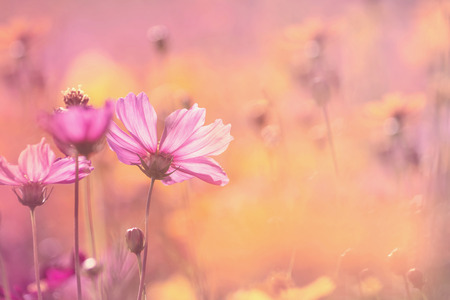 Cosmos flowers on sweet color blurred background Stock Photo