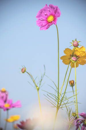 Cosmos flowers on sweet color in the park Stock Photo