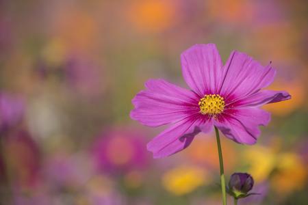 Cosmos floral on vintage color blurred background