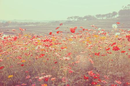 Cosmos floral vintage color on blurred background