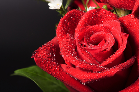 Cosed up bouquet red rose with dropslets on petal surface Stock Photo