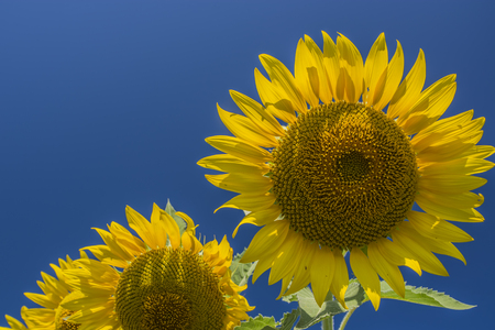 Closed up sunflower in the field with blue sky  background