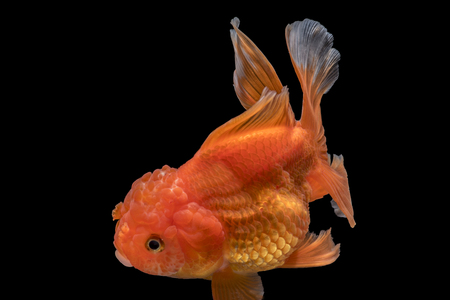 Adorable goldfish fantail action with bubbles in tank on darkness background