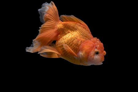 Adorable goldfish fantail actions on darkness background