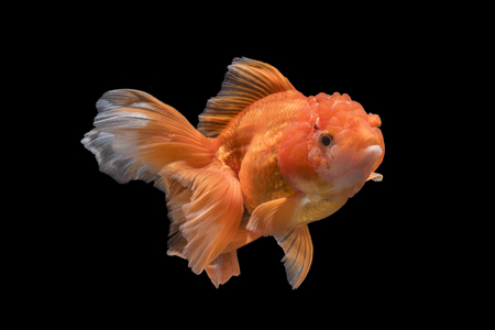 Adorable goldfish fantail action on darkness background