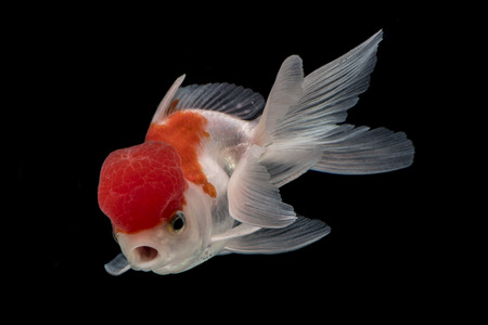 Adorable fantail goldfish action & mouth open like