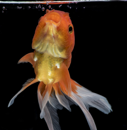 Goldfish fantail actions on darkness background