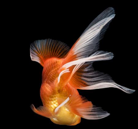 Goldfish fantail action on darkness background 版權商用圖片