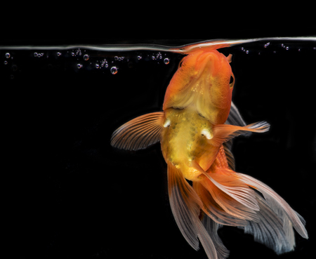 Adorable goldfish fantail action with bubbles on darkness background