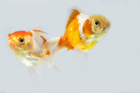 Adorable goldfish fantail action in tank on white background