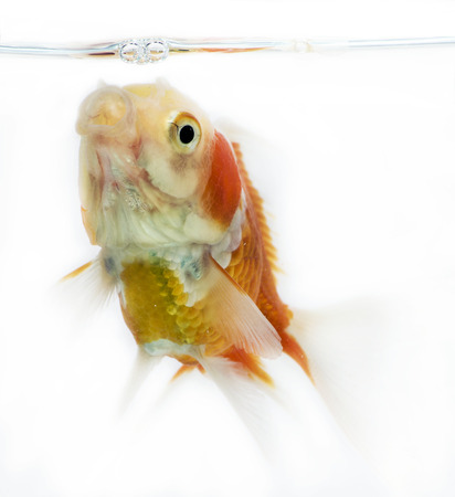 Beautiful fantail Goldfish movement with bubbles & water pumps in the tank on white background