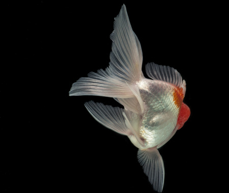 Beautiful fantail Goldfish movement with bubbles & water pumps in the tank on darkness background