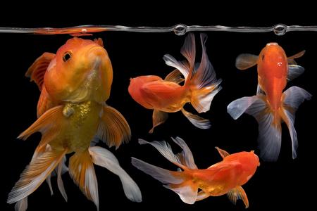 Beautiful 4 fantail goldfish movement, Capture movement 4 goldfishs on dark background Stock Photo