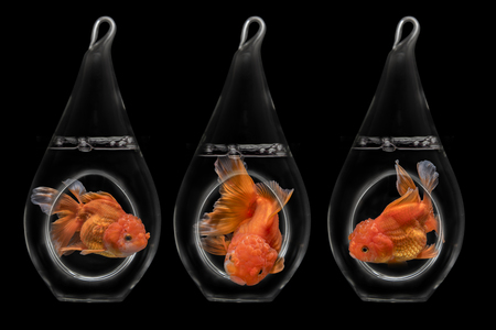 Concept freedom, goldfish fantail want to be out of the bottle (Image retouch) Stock Photo
