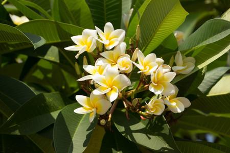 champa flower: Champa flowers in the garden