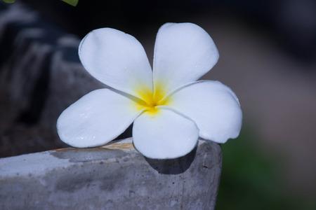 Champa flowers wet
